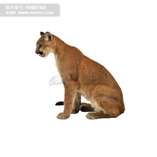 老虎 动物 猿科动物 猿 猿人 猿类  老虎 动物 猿科动物 猿 猿人 猿类模板下载 老虎 动物