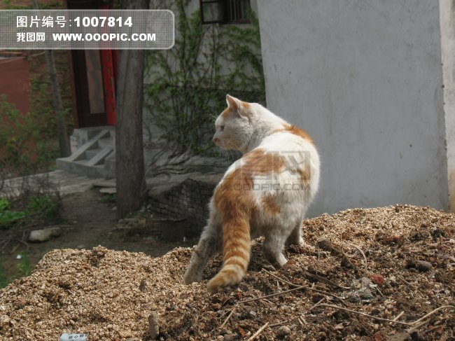 回首眺望的猫图片素材(图片编号:1007814)_动物图片库