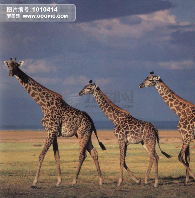 稀有动物 长颈鹿 动物模板下载