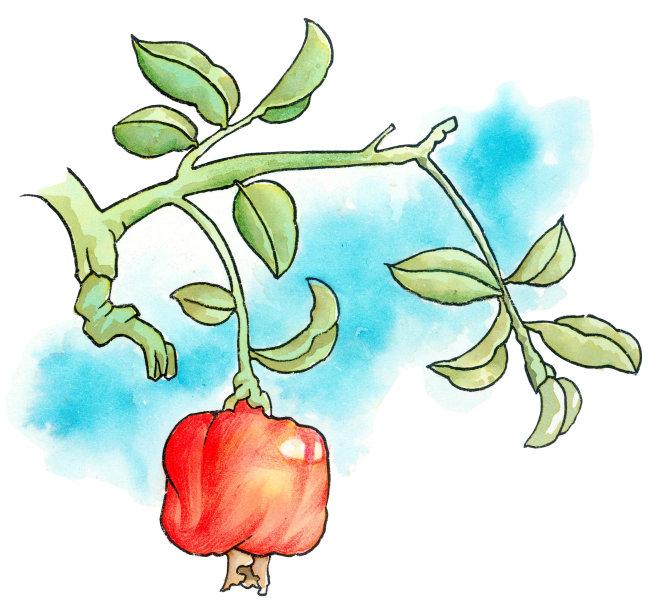 卡通植物插画 石榴