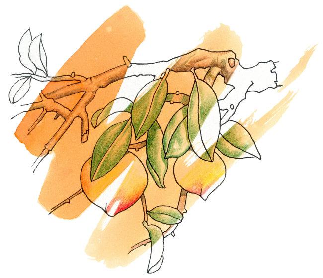 桃子橙色背景插画图片下载 桃子橙色背景插画 可爱水彩画 淡墨风格