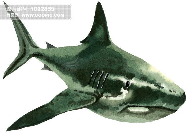 大鲨鱼图片素材(图片编号:1022855)