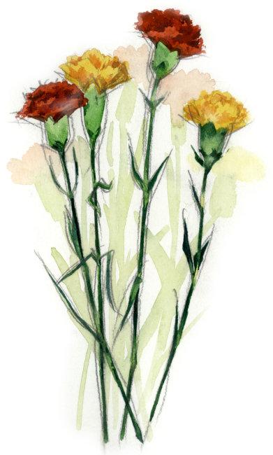 植物 康乃馨 红色花朵