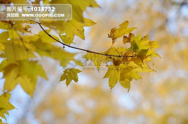 正版图片 动物植物 植物 > 树叶 秋天  树叶 秋天模板下载 树叶 秋天