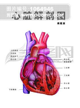 心脏解剖图