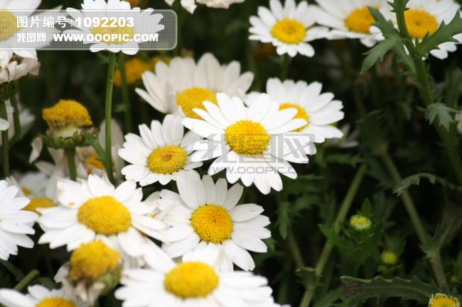 白色雏菊花图片素材(图片编号:1092203)