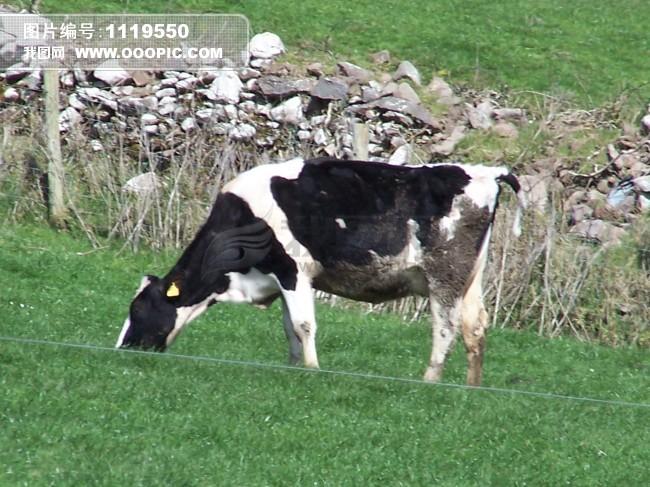 奶牛图片下载 动物