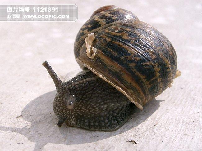 动物 > 蜗牛图片  摄影 蜗牛 爬行 蜗牛壳 触角 动物 甲壳类动物 自然
