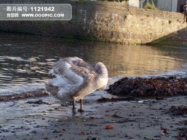 一只鸭子图片素材(图片编号:1121942)_动物图片库