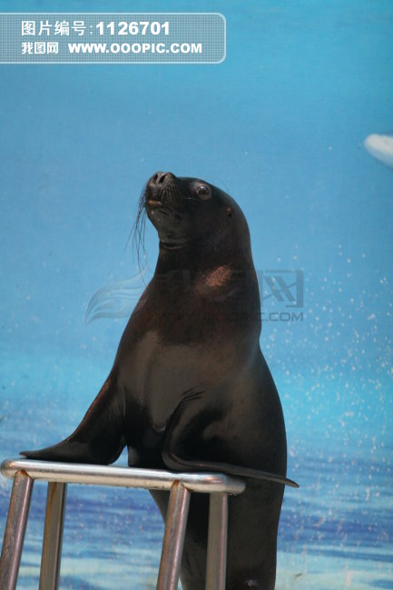 海狮表演图片素材(图片编号:1126701)_动物图片库_动物植物图库;