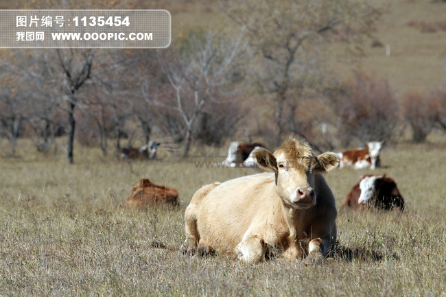 牛类动物图片