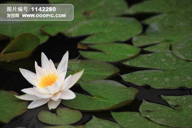 池塘睡莲 荷叶莲花图片素材