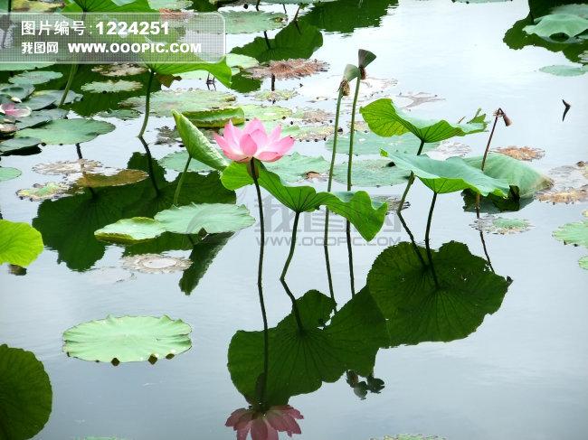池塘荷花图片素材 1224251