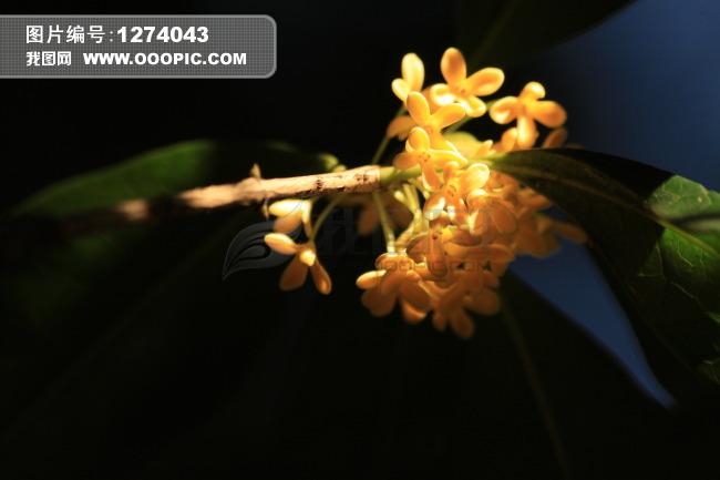 植物 > 月桂花  月桂花模板下载 月桂花图片下载 图片 素材 下载 背景
