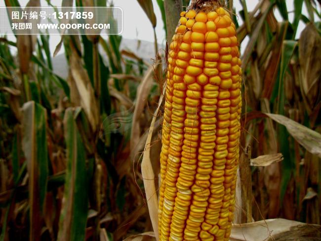 玉米玉米穗