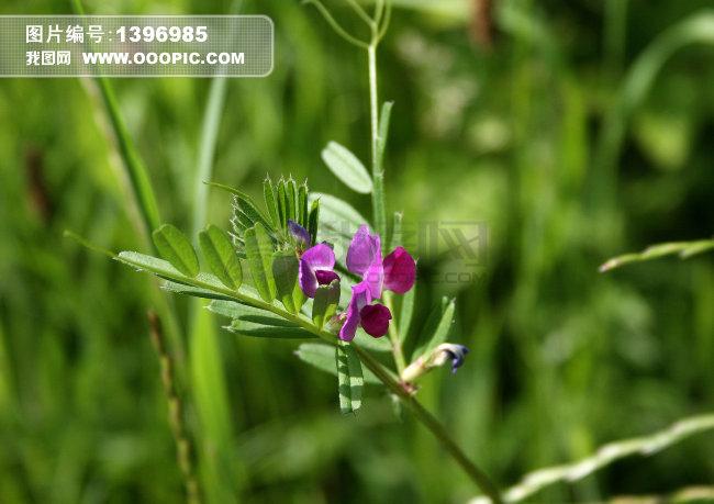 野豌豆大巢菜苕子花卉鲜花花朵素材下载