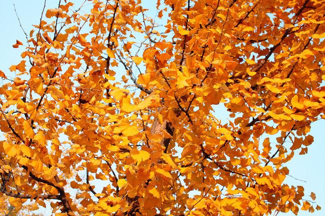 银杏树叶孔雀拼图图片展示