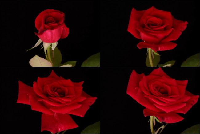 高清玫瑰花开放动态视频