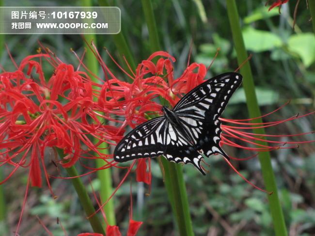 蝴蝶和漫珠沙华 彼岸花
