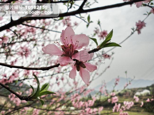春景桃花简笔画