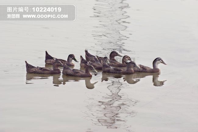 正版图片 动物植物 动物 > 一群美丽的鸭子和江水  一群美丽的鸭子和