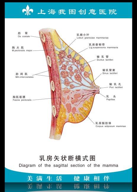 医院展板 乳房矢状断横式图