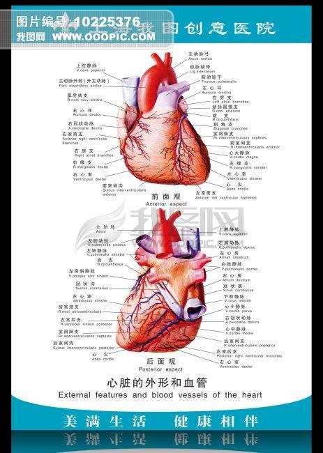 心脏静脉结构图解