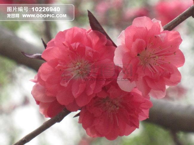 精美桃花风景图片