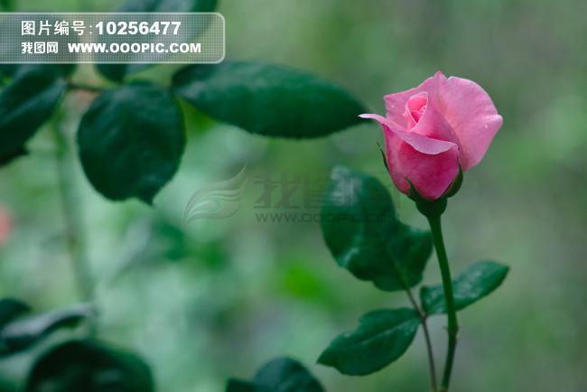 季花月季花图片鲜花鲜花背景鲜花图片鲜花特写鲜花花朵绿叶绿叶植