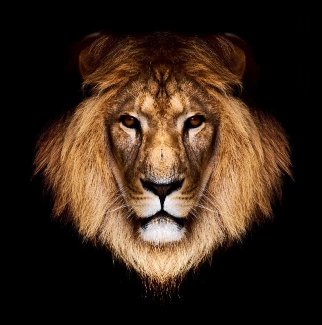 白狮子霸气壁纸狮子头简笔画-黑白狮子霸气壁纸