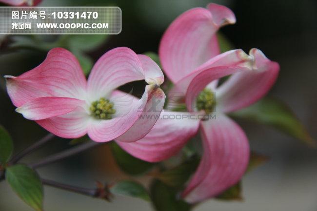 这种开粉红色小花的是什么植物?