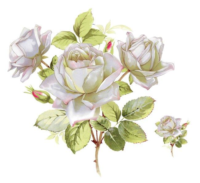 高清手绘白玫瑰模板下载(图片编号:10352346)