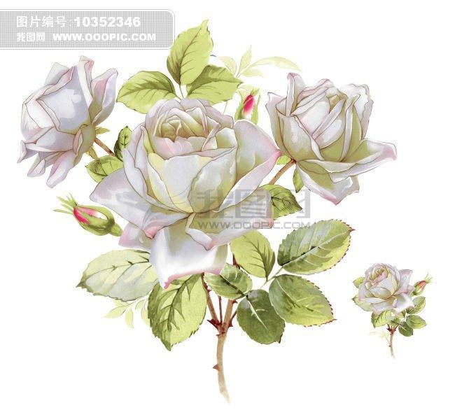 高清手绘白玫瑰