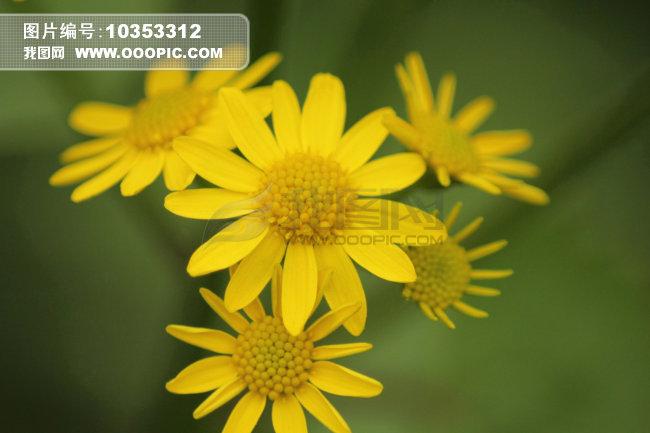 正版图片 动物植物 植物 > 三角形构图的野菊花  上一个下一个 三角形