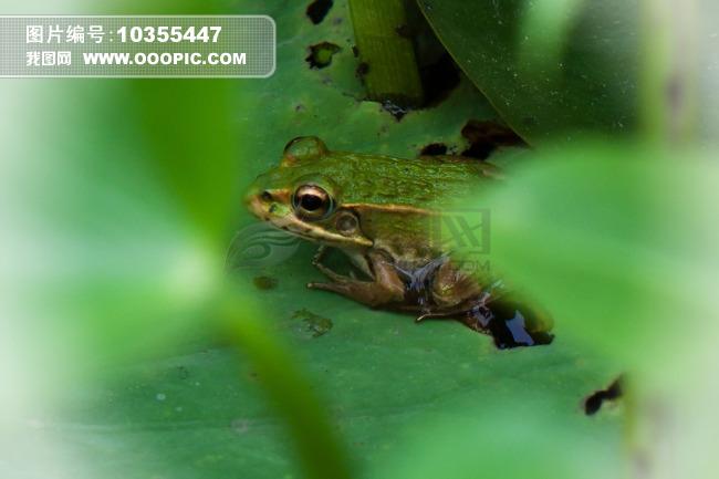 池塘小青蛙图片素材 10355447