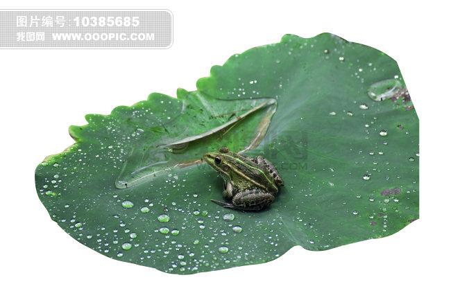 青蛙荷叶露珠素材图片素材 10385685