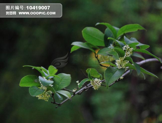 桂花枝丛图片素材(图片编号:10419007)_植物图片库