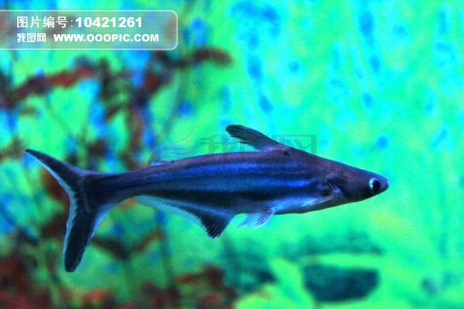 鲨鱼鱼简笔画彩色