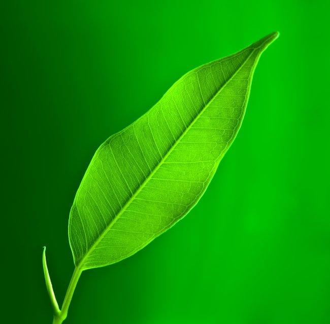 绿叶 树叶 植物