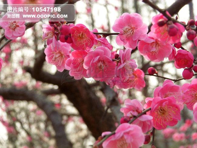 梅花的树干简笔画