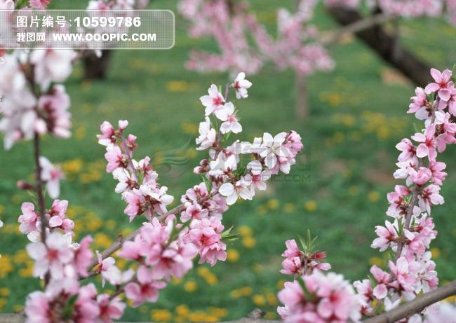 梅花 图片 图片 素材 图片 编号 10599786 自图片