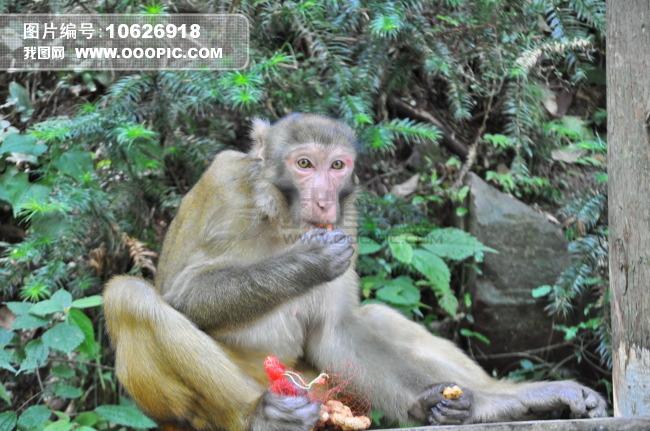 张家界猕猴图片素材(图片编号:10626918)_动物图片库