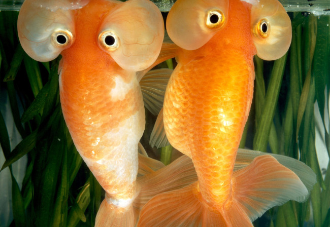 大眼睛的金鱼