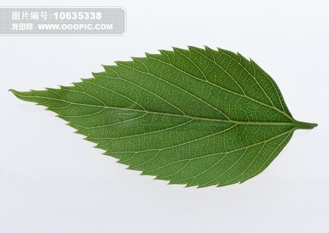 叶子插图 树叶标本