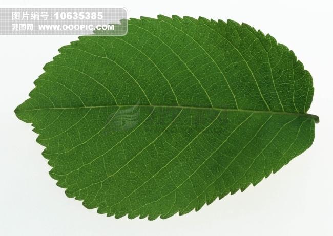 树叶标本图片素材(图片编号:10635385)