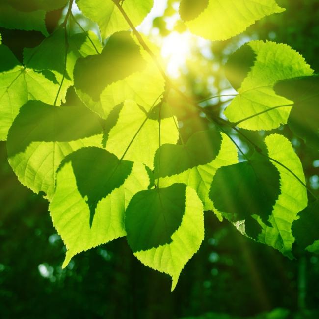 [版权图片] 枝叶植物阳光模板下载 枝叶植物阳光图片下载 叶片 叶子