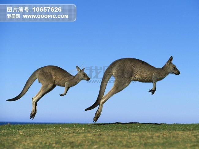 澳洲东部灰<font color=red>袋鼠图片</font>素材(图片编号:10657626