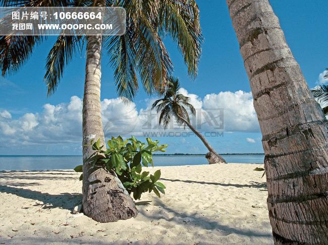 洪都拉斯海湾岛棕榈树