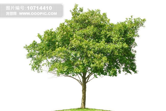 白底大树素材图片素材(图片编号:10714410)_植物图片