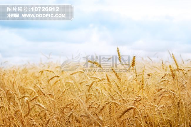 成熟的粮食 秋天的风景